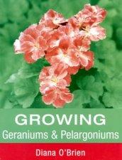 Growing Geraniums  Pelargoniums