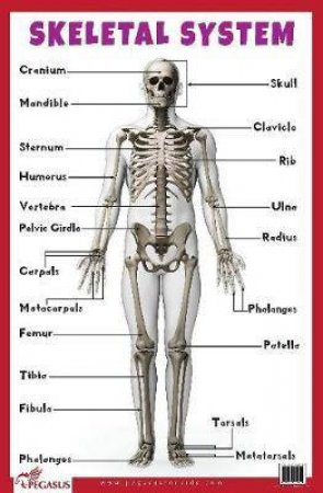 Skeletal System Educational Chart by Various