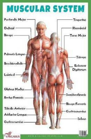 Muscular System Educational Chart by Various